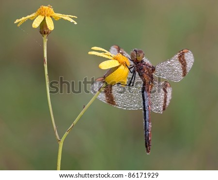 Sympetrum pedemontanum dragonfly (banded darter) resting in the morning with dew drops on a nice yellow flower