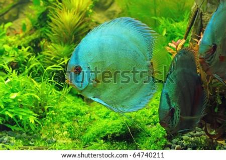 symphysodon discus in aquarium