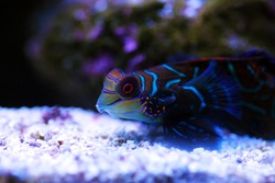 Synchiropus splendidus - The Mandarin fish, one of the most colorful saltwater fish