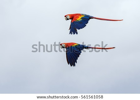 Shutterstock Synchronised Scarlet Macaws. A beautiful pair of scarlet macaws fly in formation.