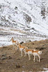 Synchronized heads of cautious Pronghorn Antelope in winter at Old Yellowstone Trail South Gardiner Montana