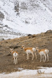 Synchronized heads of curious Pronghorn Antelope in winter at Old Yellowstone Trail South Gardiner Montana