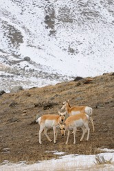 Synchronized heads of Pronghorn Antelope grazing in winter at Old Yellowstone Trail South Gardiner Montana