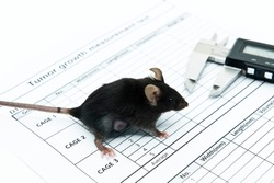 Syngeneic cell derived tumor mouse model for studying oncology. Experimental black mice with lateral tumor and a caliper on the tumor size measurement paper.