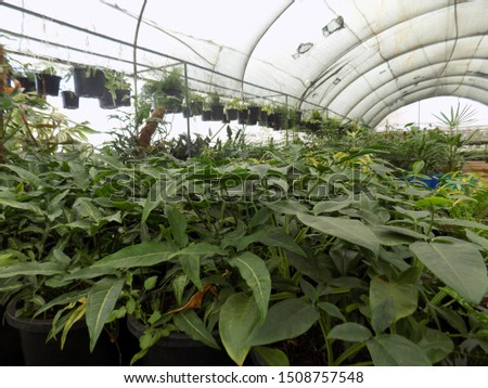 syngonium plant for indoor gardening, indoor house decorations and natural art