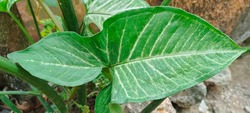 Syngonium podophyllum is a species of aroid, and commonly cultivated as a houseplant. Common names include: arrowhead plant, arrowhead vine, arrowhead philodendron, goosefoot, nephthytis, African ever