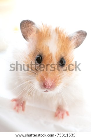 Syrian golden hamster portrait close-up on white background