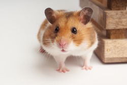 Syrian hamster on a white background