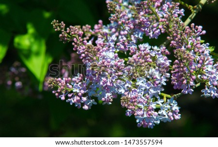 Syringa lilac species of flowering woody plants #1473557594