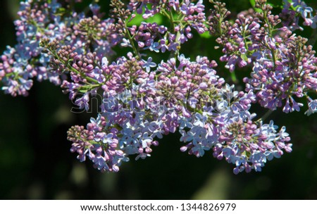 Syringa lilac species of flowering woody plants in the olive family native to woodland and scrub from southeastern Europe to eastern Asia and widely and commonly cultivated in temperate areas elsewher #1344826979
