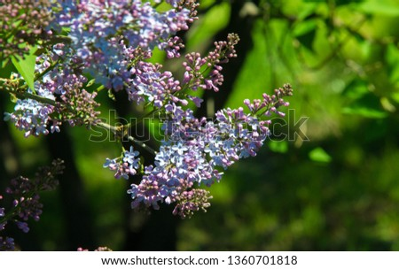 Syringa lilac species of flowering woody plants in the olive family native to woodland and scrub from southeastern Europe to eastern Asia and widely and commonly cultivated in temperate areas elsewher #1360701818