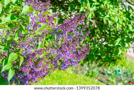 Syringa lilac species of flowering woody plants in the olive family native to woodland and scrub from southeastern Europe to eastern Asia and widely and commonly cultivated in temperate areas elsewher #1399352078