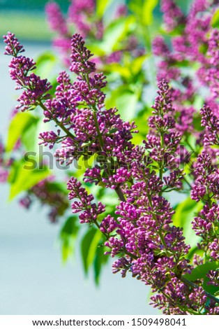 Syringa lilac species of flowering woody plants in the olive family native to woodland and scrub from southeastern Europe to eastern Asia and widely and commonly cultivated in temperate areas elsewher #1509498041