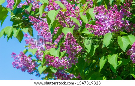 Syringa lilac species of flowering woody plants in the olive family native to woodland and scrub from southeastern Europe to eastern Asia and widely and commonly cultivated in temperate areas elsewher #1547319323