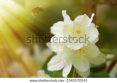 Syringa (Philadelphus coronarius) lush blooms - white flower in the summer sun ray
