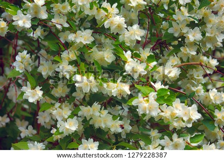 Syringa, Philadelphus - is luxurious virgin fragrant flower of beginning of summer, snow-white flower - Jasmin - wedding wreath. Summer lush flowers blossoming