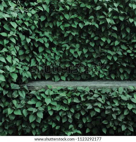 Syringa vulgaris common lilac plants green leaf hedge background. Old aged dark gray weathered wooden bench niche, large detailed scenic horizontal shrubs greenery closeup. Formal garden shrub leaves #1123292177