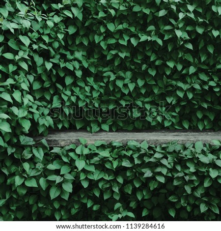 Syringa vulgaris common lilac plants green leaf hedge background. Old aged dark gray weathered wooden bench niche, large detailed scenic horizontal shrubs greenery closeup. Formal garden shrub leaves #1139284616