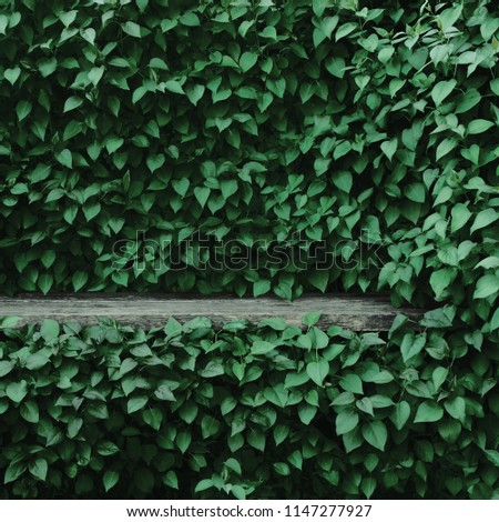 Syringa vulgaris common lilac plants green leaf hedge background. Old aged dark gray weathered wooden bench niche, large detailed scenic horizontal shrubs greenery closeup. Formal garden shrub leaves #1147277927