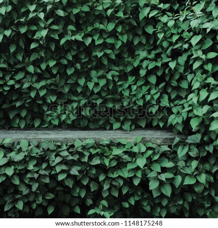 Syringa vulgaris common lilac plants green leaf hedge background. Old aged dark gray weathered wooden bench niche, large detailed scenic horizontal shrubs greenery closeup. Formal garden shrub leaves #1148175248