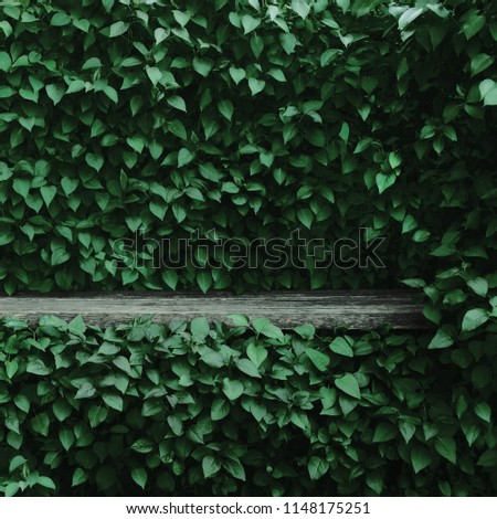 Syringa vulgaris common lilac plants green leaf hedge background. Old aged dark gray weathered wooden bench niche, large detailed scenic horizontal shrubs greenery closeup. Formal garden shrub leaves #1148175251