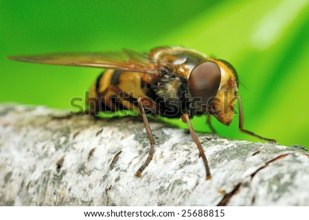 syrphid fly on a green background