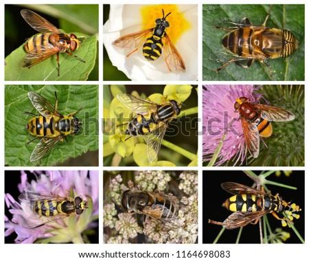 Syrphidae (Hoverflies, flower flies or syrphid flies), a family of flies.