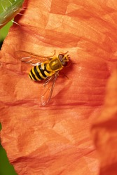 Syrphus sp.  Syrphus is a genus of hoverflies. Fly hoverfly on red poppy flower