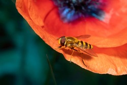 Syrphus sp.  Syrphus is a genus of hoverflies. Fly hoverfly on red poppy flower. Place for text