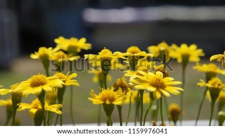 tło kwiat słoneczny Zdjęcia stock ©
