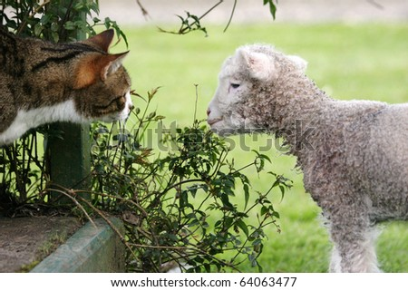 Tabby and white cat looking at a naughty newborn lamb as it nibbles on the plants.