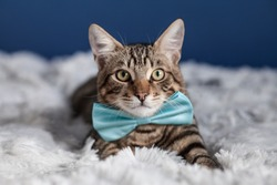 tabby bengal cat in a bow tie lying on faux fur bedspread