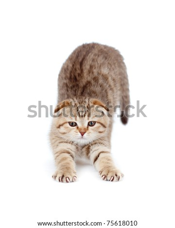 tabby british little kitten stretches itself isolated