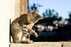 Tabby cat grooming itself. Selective focus.