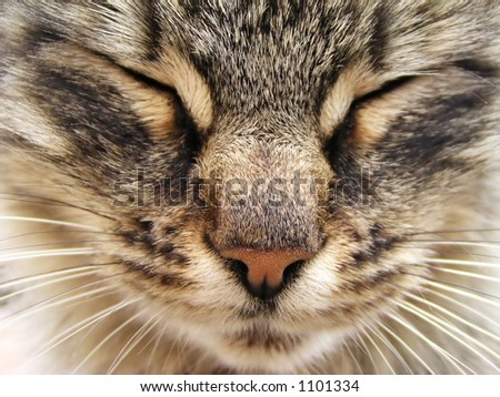Tabby cat head close-up