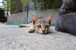 Tabby Cat Hissing Growling Thailand Cat