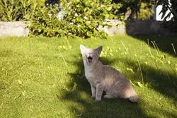 Tabby cat (kitten) yawns in the shadow of a tree on grass field in the garden.