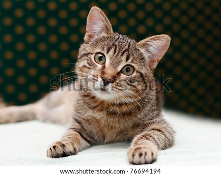 Tabby Cat laying and Looks with interest