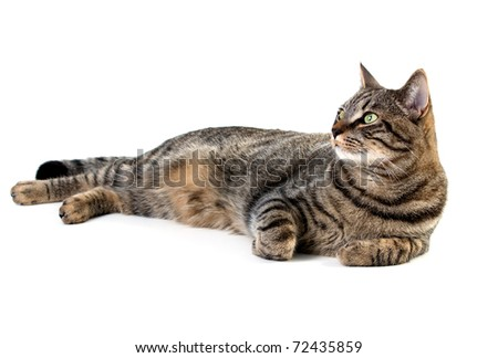 Tabby cat laying down on white background