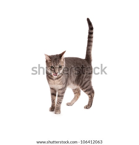 Tabby cat licking lips isolated on white