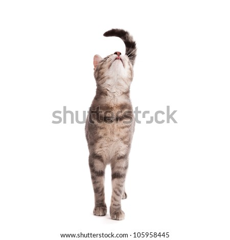 Tabby cat licking lips looking up isolated on white