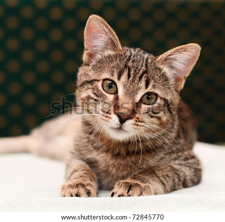 Tabby Cat lies and looks into camera