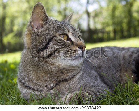 Tabby cat looking in the grass