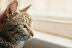 Tabby cat looks out window. Pet sit near windowsill. Close up of sad pussycat. Animal portrait.