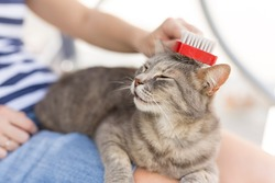 Tabby cat lying in her owner's lap and enjoying while being brushed and combed. Focus on the cat's muzzle