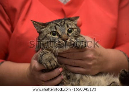 Tabby cat on the human hands