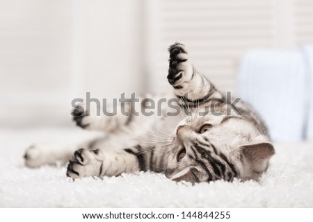 Tabby cat on the white carpet in the interior