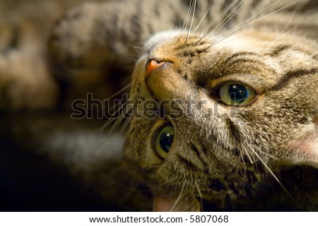 Tabby cat playfully looks at the camera upside down