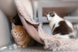 tabby cat plays with another cat hiding under a blanket