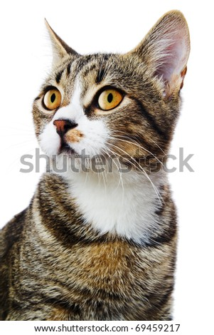 tabby cat portrait isolated on white